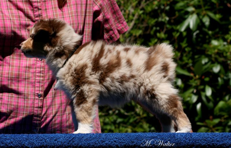 Mini American Shepherd 8 week evaluation